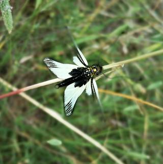 Libelloides-coccaius-(Ascalaphidae)-Neur