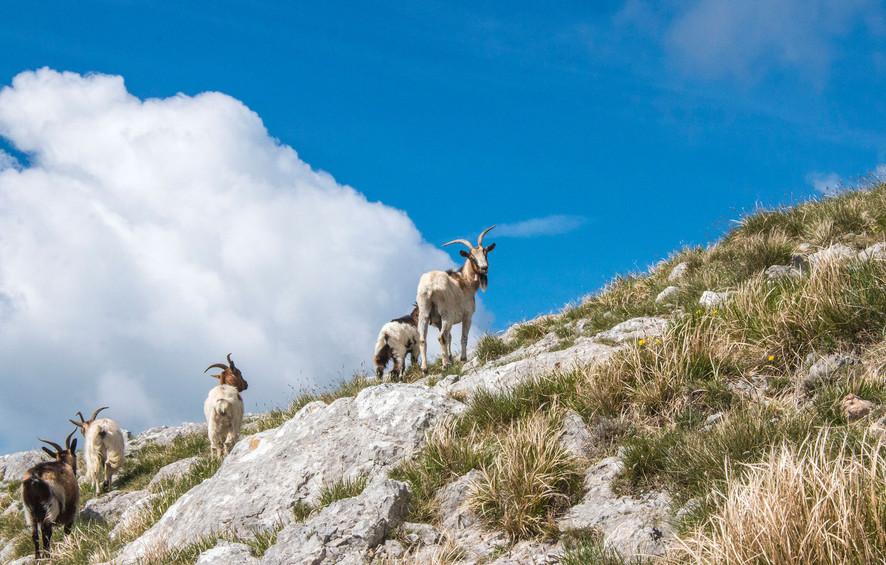 06_Capre-sulla-cresta-della-Pania.jpg