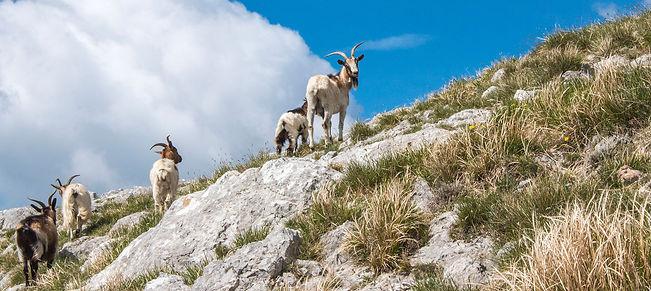 escursioni, Pania, capre, apuane, Slow travel tuscany, trekking, toscana