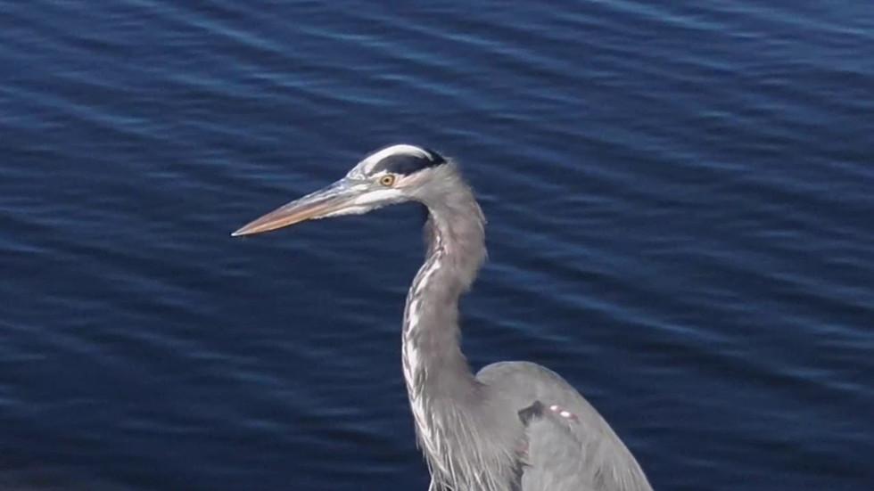 Blue Heron at Geist