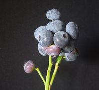 11-35 fruit raceme fruit on leafless ste