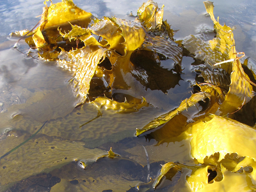 Golden kelp lying in shallow water