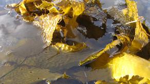 First farmed kelp harvests for Tasmania