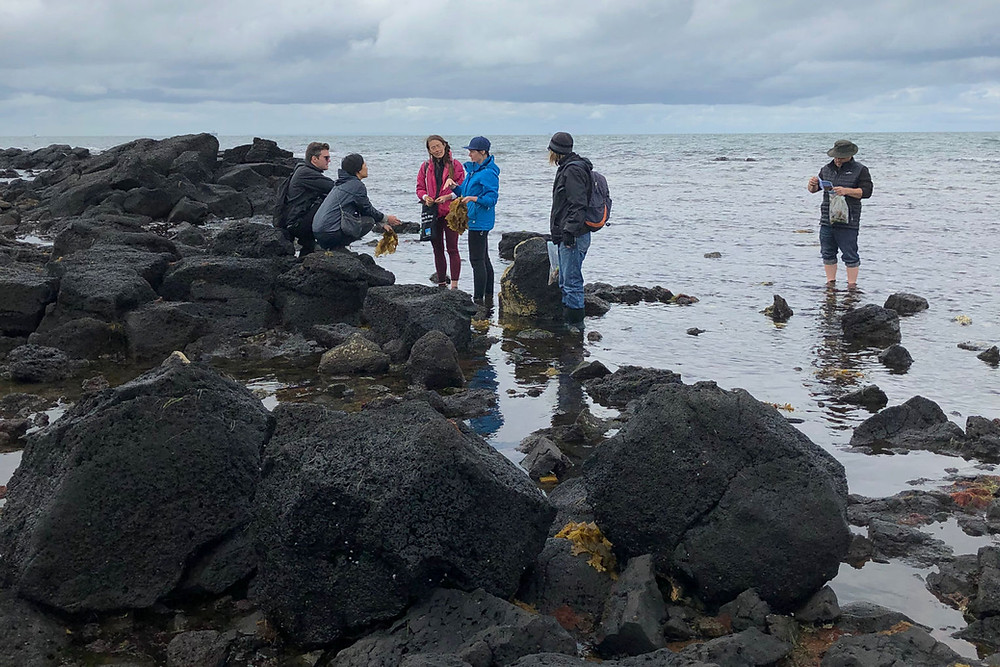 Group of people on a rocky shoreline collecting seaweed.