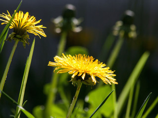 Dandelion: Detox With this Yellow Charmer