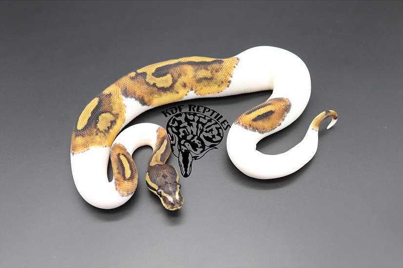 20 Scaleless Head Pied Female 2