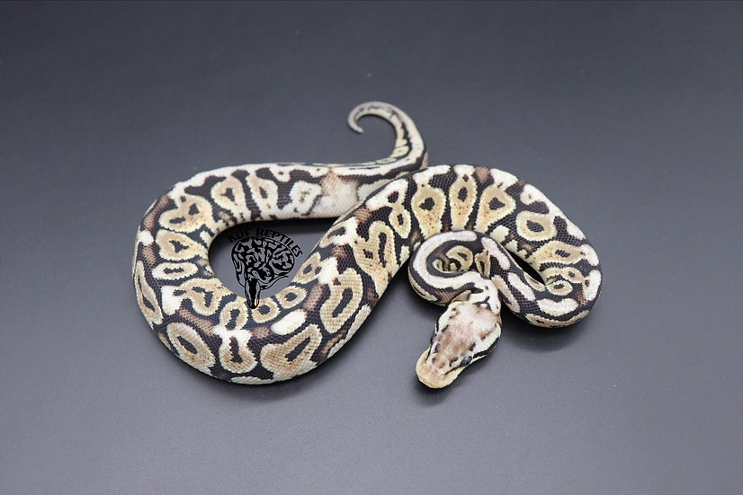 20 Super Pastel HRA het Puzzle Female