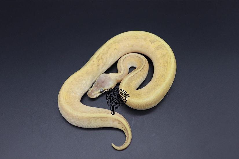 20 Hypo Lemonblast Mojave Sugar Female