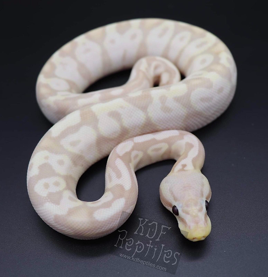 19 Pastel Super Coral Glow Male