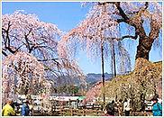 青雲寺しだれ桜.jpg