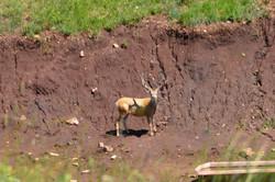 mule buck