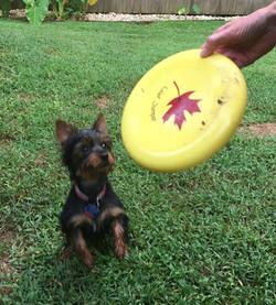 Vinny the disc dog