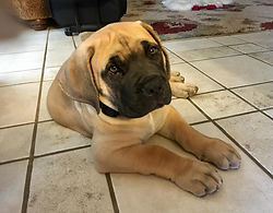 Boerboel Mobile Dog Training