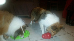Busy Shelties
