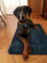 Doberman Pinscher Mobile Dog Training