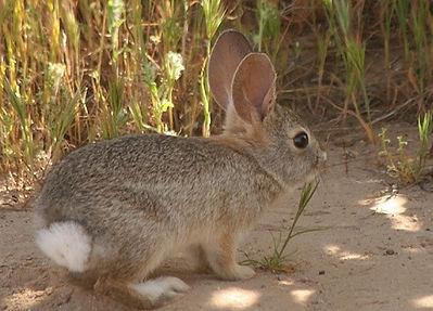 Eastern Cottontal Rabbit eating