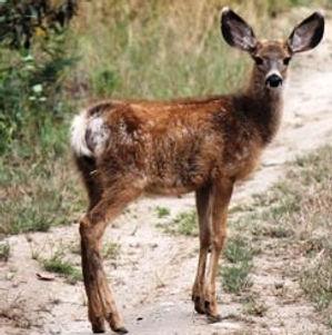 Columbian black-tailed deer photo