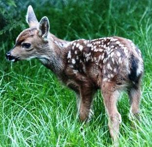 Columbian black-tailed deer fawn phot