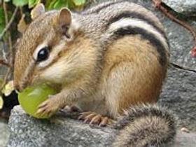 Photo of chipmunk eating