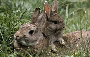 Mother and baby Eastern Cottontail Rabbits