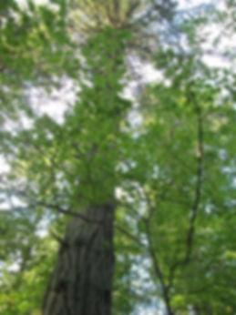 Tall trees at Sunnyside Acres