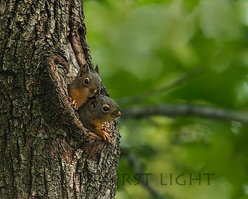 Young Douglas Squrrels in Nest, provided b RST LIGHT