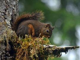 Douglas Squirrel on tree