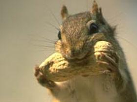 Photo of chipmunk eatig peanut
