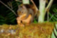 Douglas Squirrel eating