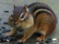 Photo of chipmunk eating sunflower seeds