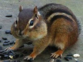 Photo of chipmunk eating sunflower seeds