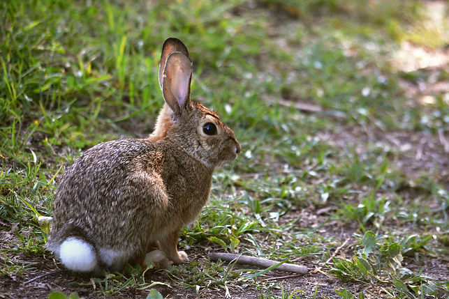 eastern Cottontail rabbit.jpg