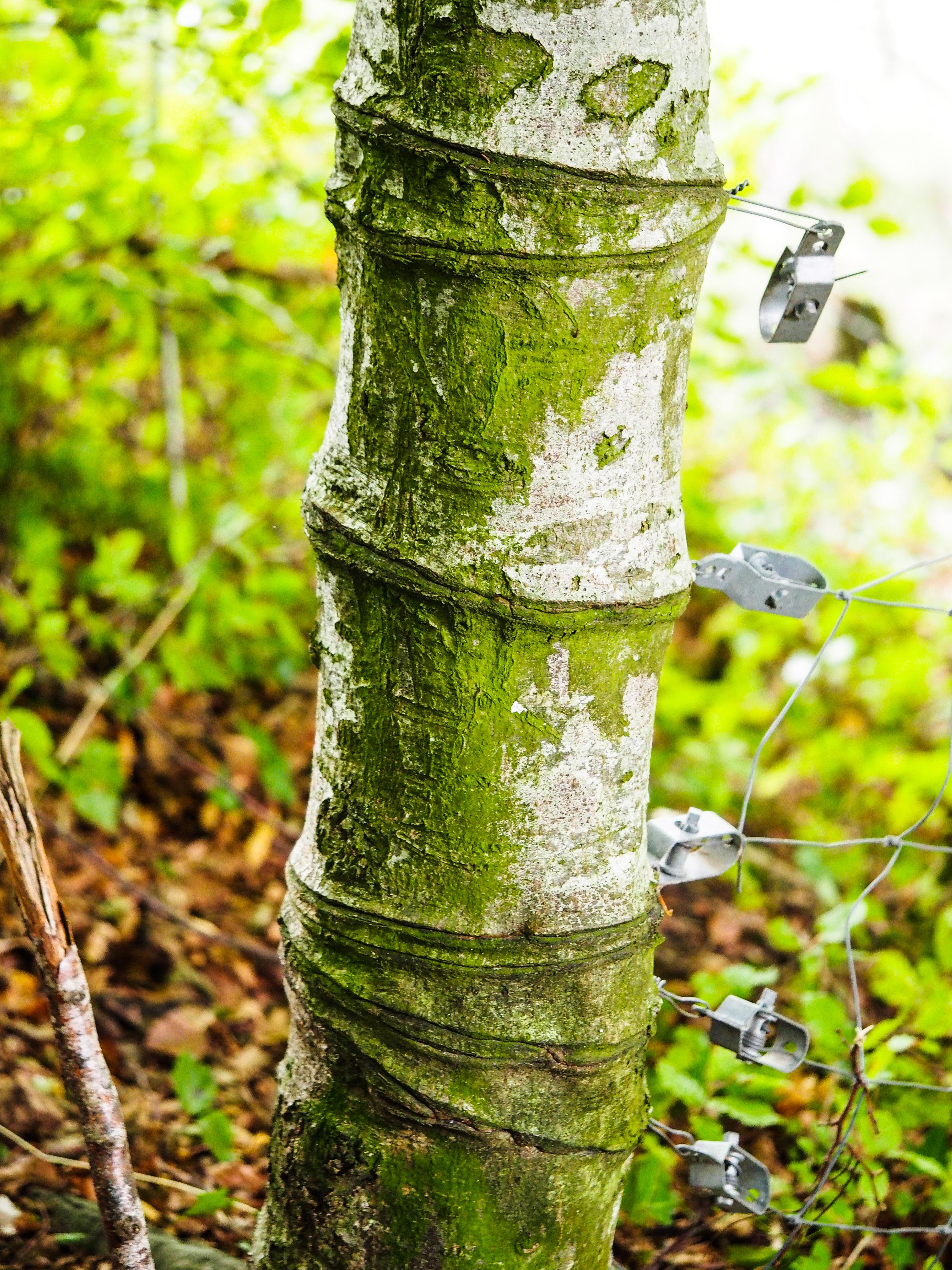 Bäume in Melchnau