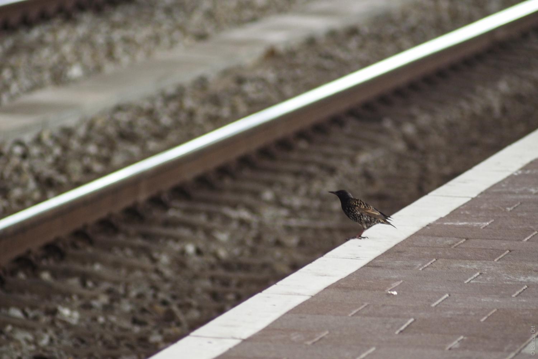 Tiere_Vogel_Bahnsteig