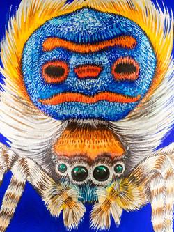 bellis et animal - Pfauensp. Detail