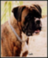 #roxbudkennels #boxerdogsofinstagram  #s