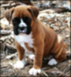 #boxerpuppies #puppies #pup #showdog #ro