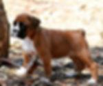 5 1/2 wk old puppy #boxerpuppies #puppie