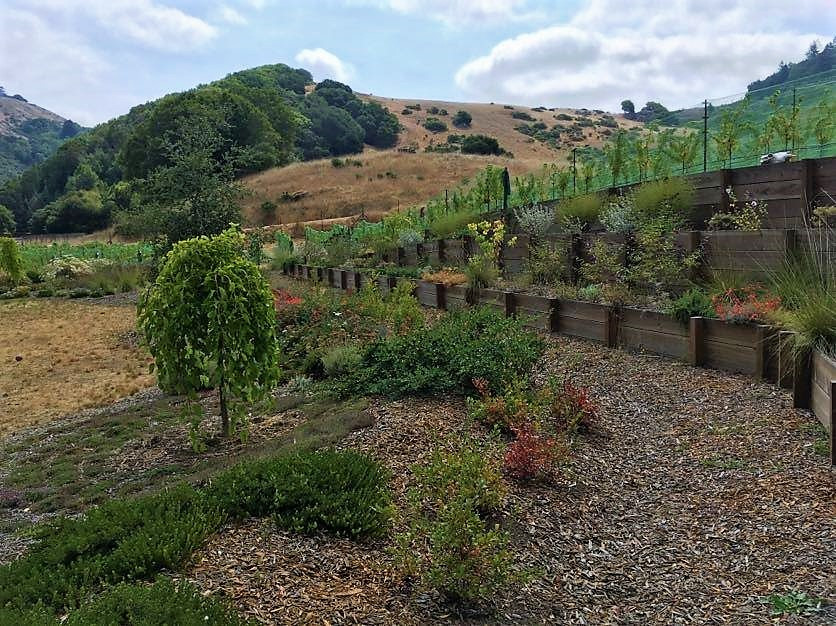 Vineyard terraces of beneficial plantings for nearby vineyard with swale system of berries & edibles