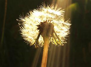 dandelion-2367515.jpg