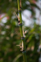 Tige de bambou, France.jpg