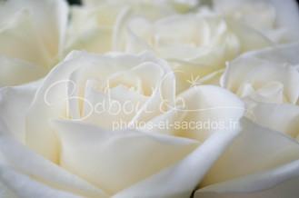 Rose lilloise, france.jpg