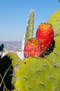 Cactus_au_couleur_d'hiver,_Région_de_Va