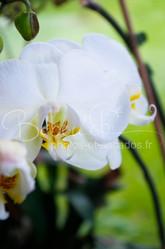 Orchidée_blanche_de_Pauline,_France.jpg