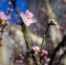 Cerisier londonien.jpg