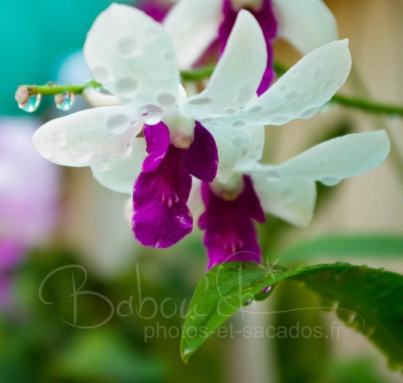 Orchidées_de_Madame_Ya,_Phnom_Penh,_Cam