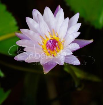 fleur de lotus, Phnom Penh, Cambodge.jpg