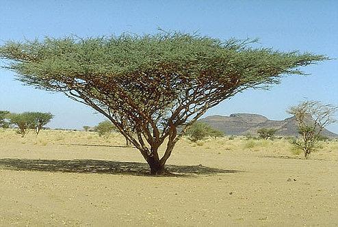 Acacia 1 Dram