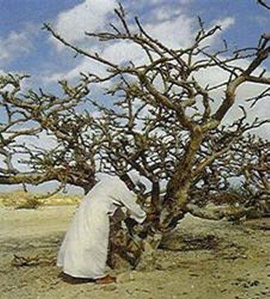 Myrrh 1 Dram