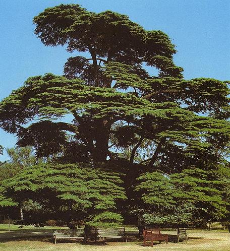 Cedar 1 Dram